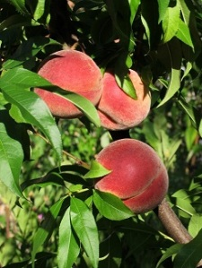 254x326px Tobias Maschler Vineyard_peaches_de