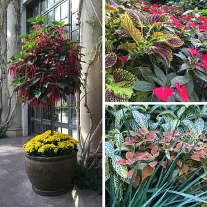 600px-Longwood-Gardens-Chrysanthemum-Festival-planter-foliage-fuschia-blooms