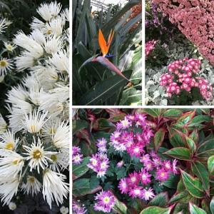600px-Longwood-Gardens-Chrysanthemum-Festival-small blooms