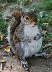 174px-Common_Squirrel