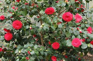 C T Johansson 320px-Camellia_japonica-IMG_2051