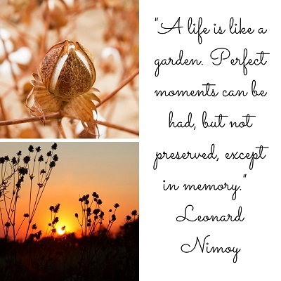 Sepia-image-of-cotton-boll-and-image-of-cotton-field-at-sunset-plus-Leonard-Nimoy-quote-about-life-and-garden