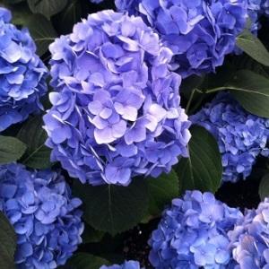 Longwood_Gardens_blue_hydrangeas