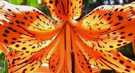 daylily speckled 3