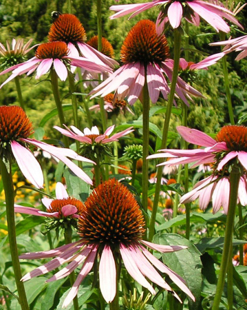 lavender-coneflowers-Coker-Arboreturm
