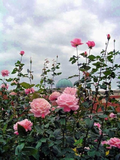 Pink-roses-reach-for-the-sky-in-front-of-Morehead-Planetarium