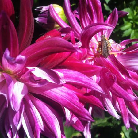 a-yellow-bee-lights-on-a-fuschia-dahlia-in-the-Maine-Botanical-Gardens