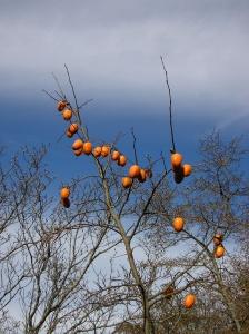persimmons-chamrick