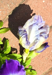 fallen bearded iris in late May