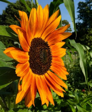 sunflower chamrick