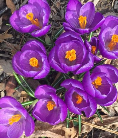 Purple crocuses with yellow saffron center by chamrick randomstoryteller