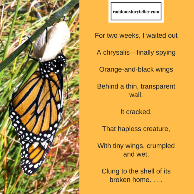 Monarchs-Royal Wind Riders, poem excerpt by randomstoryteller chamrickwriter image of butterfly after emerging from chrysalis
