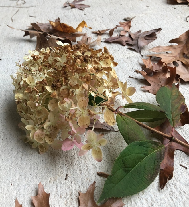 fading cream hydrangea turning brown by chamrickwriter randomstoryteller