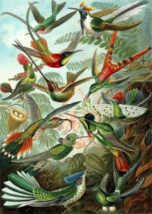 Haeckel_Trochilidae-hummingbirds-vibrant colorplate of a variety of hummingbirds public domain