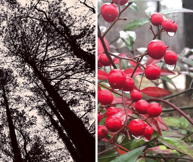 Chattahoochee River_Cochran Shoals_chamrickwriter randomstoryteller with images of pine tree and Nandina berries