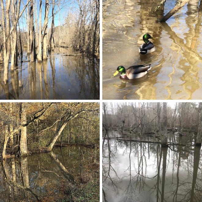 Chattahoochee River_Cochran Shoals_swamp scenes with mallards_chamrickwriter randomstoryteller