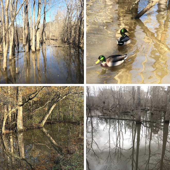 Chattahoochee River_Cochran Shoals_swamp scenes with mallards_chamrickwriter randomstoryteller
