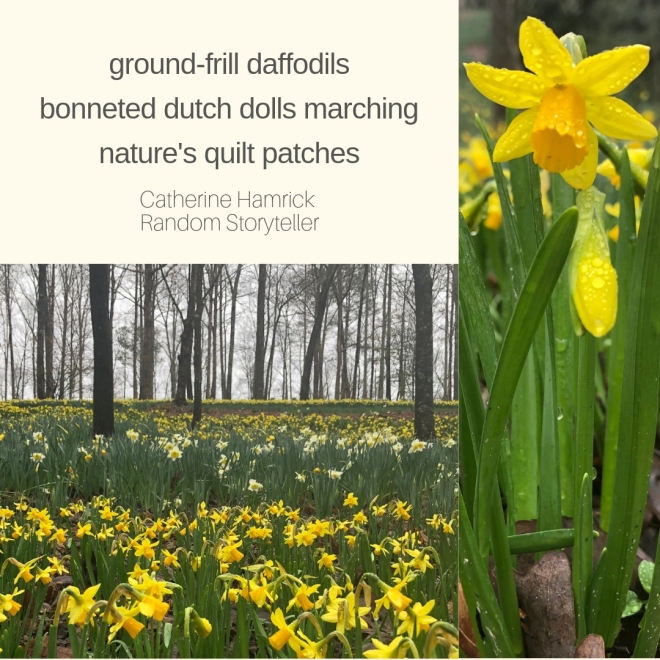 #haiku-daffodils-beats-Gibbs Gardens-chamrickwriter-randomstoryteller.com-with image of daffodil field after a gray rain